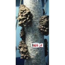 Зерновой мицелий штамп  КР15