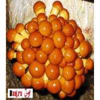 Зерновой мицелий штамп  ФОЛИОТА НАМЕКО