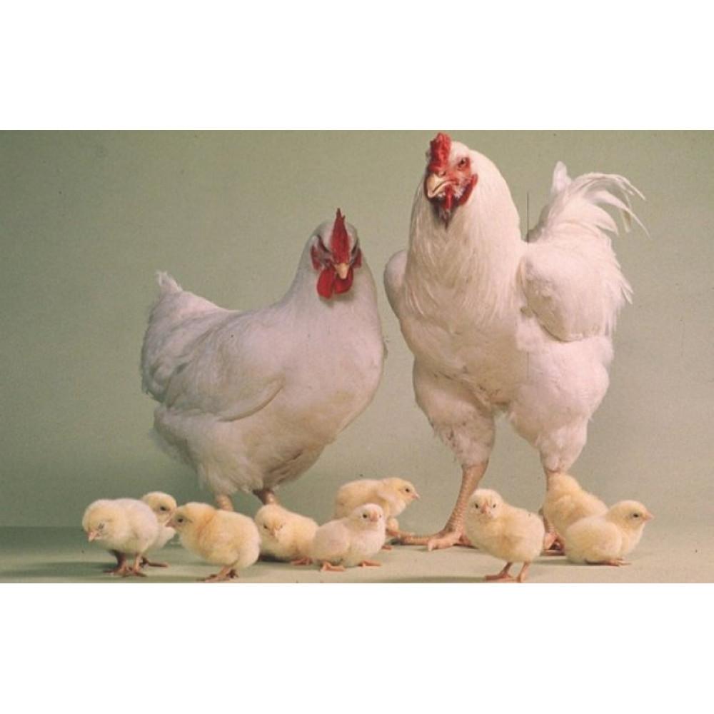 Купить Инкубационное яйцо  Бройлер  Арбор Айкрес