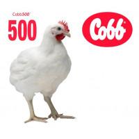 Бройлер Кобб 500
