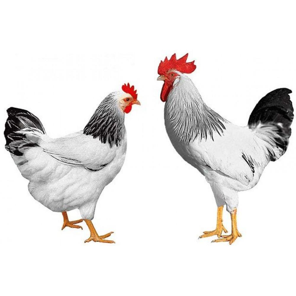 Купить Инкубационное яйцо  Доминант Д104